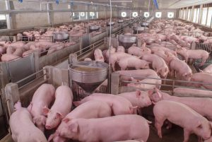 6 Ways to Boost Hog Farm Biosecurity on Your Operation