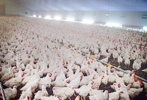 Essential Questions to Ask as You Create a Plan for Poultry Farm Biosecurity