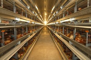 The Most Important Principles of Poultry Farm Cleaning